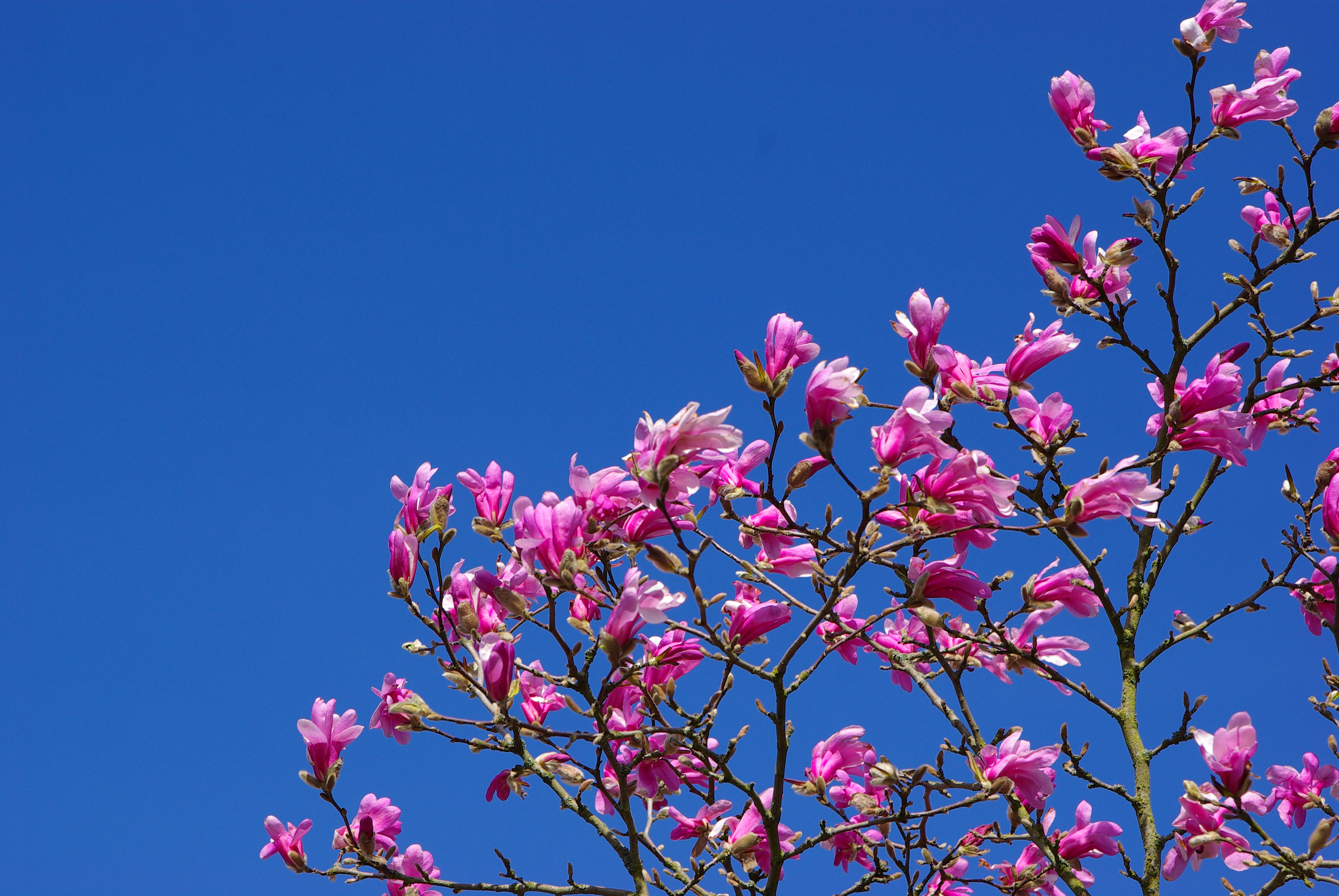 jardin magnolia