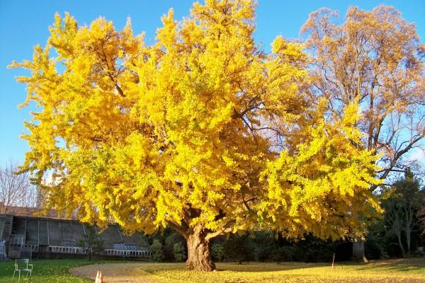 4.arbre aux 40 écus